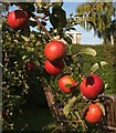 SX9065 : Apples, Torre by Derek Harper