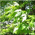 SP2965 : Silver Maple, Acer saccharinum – the silvery backs of the leaves, open space, Warwick by Robin Stott