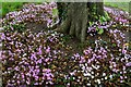 SW8458 : Trerice: Cyclamen under a tree bordering the Kayling Lawn by Michael Garlick