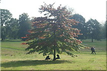 TQ2780 : View of a tree beginning to get its autumn colours in Hyde Park by Robert Lamb