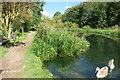 SP8609 : Swans on the Wendover Canal by Des Blenkinsopp