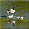 SO7580 : Goose in the river near Upper Arley, Worcestershire by Roger  Kidd