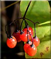 J3470 : Bittersweet (woody nightshade) berries, Lagan towpath Stranmillis, Belfast (October 2015) by Albert Bridge