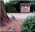 SP2864 : Peacock in the grounds of Warwick Castle by Jaggery