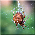 SP2754 : Garden Spider Araneus diadematus by David P Howard