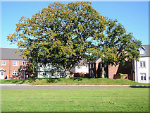 ST0107 : Cullompton: Oak tree by Martin Bodman
