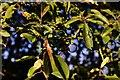 TM1589 : Tibenham Road: Blackthorn (sloe) in the hedgerow by Michael Garlick