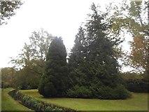 TQ2688 : Conifers in Northway Gardens, Hampstead Garden Suburb by David Howard