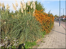 TQ2081 : Cotoneaster and pampas grass at Gypsy Corner by David Hawgood