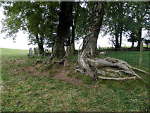 H5572 : Trees with large roots, Bracky / Mullaghslin Glebe by Kenneth  Allen