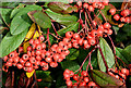 J4173 : Cotoneaster berries, Dundonald (October 2015) by Albert Bridge