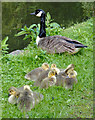 SO8276 : Canada goose with goslings, Kidderminster, Worcestershire by Roger  Kidd