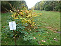 TF6828 : Japanese Knotweed (Fallopia japonica) on the Sandringham Estate by Richard Humphrey