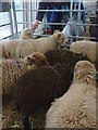 SD5191 : Ouessant sheep at Kendal Wool Gathering, 2015 by Karl and Ali