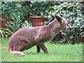TQ2886 : Nervous Fox by Bill Nicholls