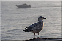 TQ3103 : Young Herring Gull on Brighton Pier, Brighton, East Sussex by Christine Matthews