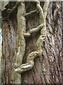SD4674 : Strange ivy stem, Sunside Wood by Karl and Ali