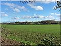 SJ5304 : Winter wheat in a field near The Glebe by Richard Law