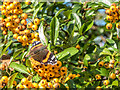 TQ2997 : Red  Admiral Butterfly on Cotoneaster Berries Trent Park, Enfield by Christine Matthews
