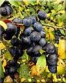 SU6097 : Sloes on a blackthorn shrub by Steve Daniels