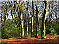 SU6884 : Beech woodland, Stoke Row, Oxfordshire by Oswald Bertram