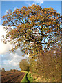 TG3105 : An oak tree in autumn colours by Evelyn Simak