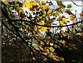 SX9065 : Sycamore leaves by Stantaway House by Derek Harper