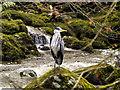NY3804 : Heron at Stock Ghyll by David Dixon