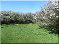SN1738 : Hedges in Blossom forming a field corner in which hides Pen-Lan-Feigan Triangulation Pillar by Peter Wood