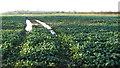 TG2001 : Oilseed rape crop field east of Mulbarton by Evelyn Simak