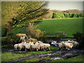 SD5102 : Sheep at Brownlow, Billinge by Gary Rogers