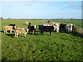 TL4072 : Cattle north of Middle Fen Farm by Richard Humphrey