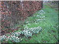 TF1925 : Snowdrops, Six House Bank by Alex McGregor
