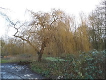 TQ0481 : Willow tree on Old Mill Lane, Cowley by David Howard