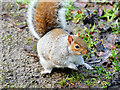 SD8204 : Young Squirrel at the Dell in Heaton Park by David Dixon