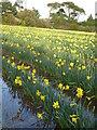 SW7828 : Waterlogged daffodil field by Rod Allday