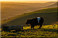 TQ2452 : Belted Galloway on Colley Hill by Ian Capper