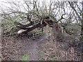 SK4328 : Footbridge under a fallen willow by Ian Calderwood