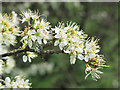 SP8914 : Blackthorn blossoms in Millhoppers Reserve by Chris Reynolds