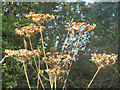 SP8914 : Cow Parsley seed heads in the Millhoppers Reserve by Chris Reynolds