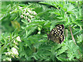 SP8914 : Speckled Wood Butterfly in Millhoppers Reserve by Chris Reynolds