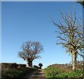 TG3003 : Trees beside bridleway to the A146 road by Evelyn Simak