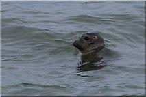 HP5605 : Common Seal (Phocaena vitulina), Westing by Mike Pennington