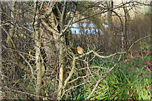 NS2209 : Robin at the Swan Pond, Culzean by Billy McCrorie