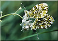 NT5734 : Mating Orange Tip butterflies by Walter Baxter