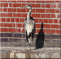 SJ6874 : Heron on the Trent & Mersey Canal by Mat Fascione