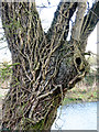 TM1779 : Ivy-clad oak by Evelyn Simak