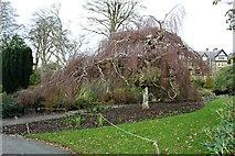 SH7972 : Weeping birch at Bodnant Garden by Richard Hoare