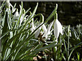 ST7074 : A bee on a Snowdrop by Neil Owen