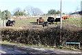 ST1997 : Steers at Twyn College Farm by M J Roscoe